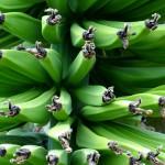 Banany, czyli jedna z najlepszych przekąsek dla biegaczy